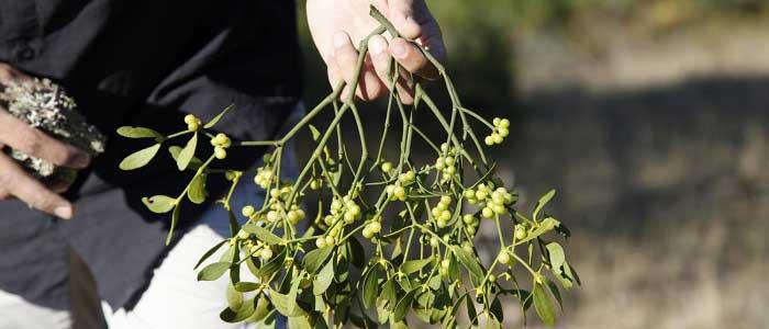 Ökse Otu Bitkisi Nasıl Kullanılır?