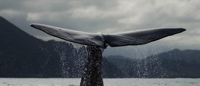Balinalarda Üreme, Balinalar Nasıl Çiftleşir?