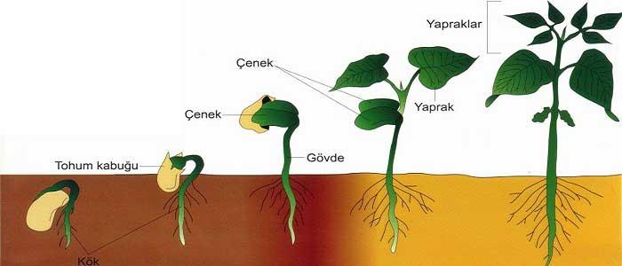 Bitkilerde Çimlenme ve Gelişme Nasıl Olur?