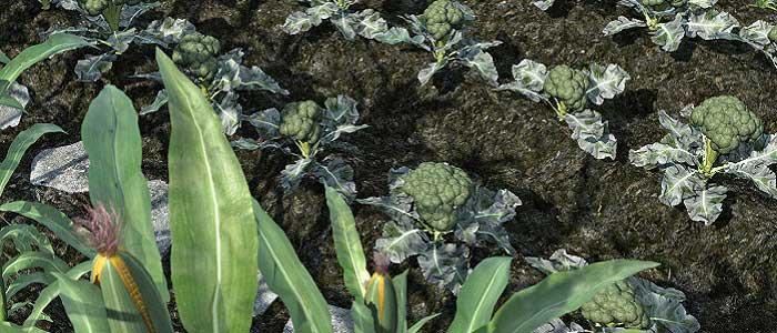 Brokolinin Yetiştirildiği Yerler