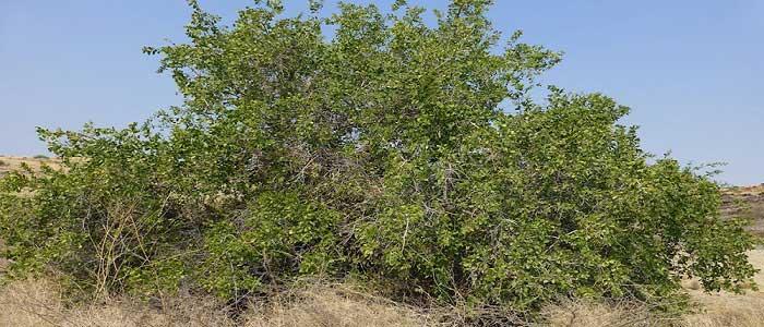 Misvak Ağacı Nerede Yetişmektedir?