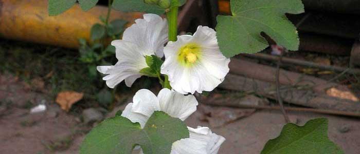 Hatmi Çiçeğinin Faydaları Nelerdir?
