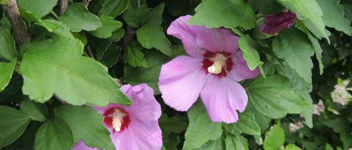 Hatmi Çiçeğinin Yan Etkileri Nelerdir?