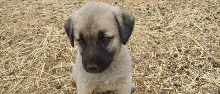 Kangal Köpeklerinde Aşı Takvimi
