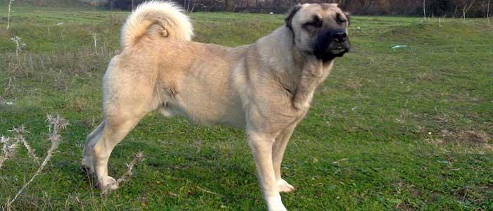 Kangal Köpeğinin Özellikleri