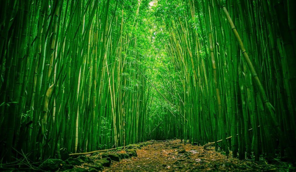 Bambu Ağacı Nedir? Özellikleri Nelerdir? Ne işe yarar?