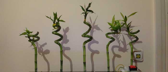 Bambu Bitkisi Nasıl Çoğaltılır ?