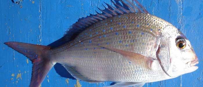 Çupra Balığının Özellikleri Nelerdir?