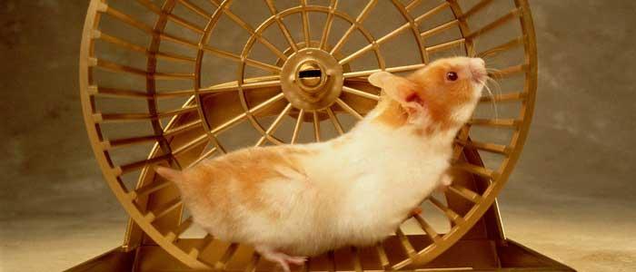 Hamster Nedir?