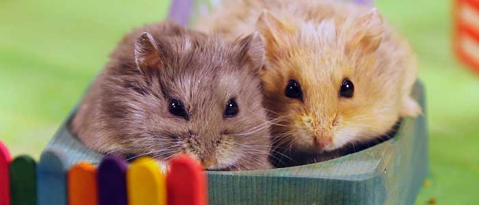 Hamsterlerda Barınma