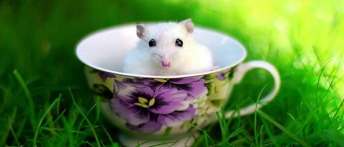 Hamsterların Özellikleri Nelerdir?