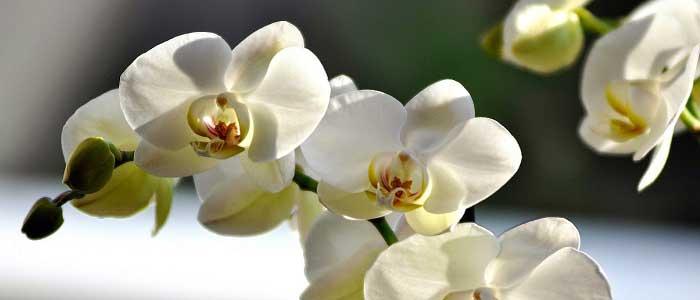 Orkide Nedir?