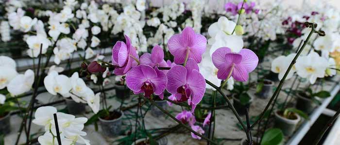Orkidenin Bakımı ve Sulaması Nasıl Olmalıdır?