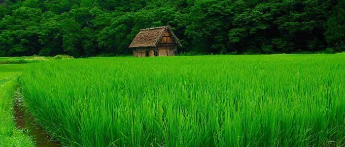 Pirincin Özellikleri Nelerdir?