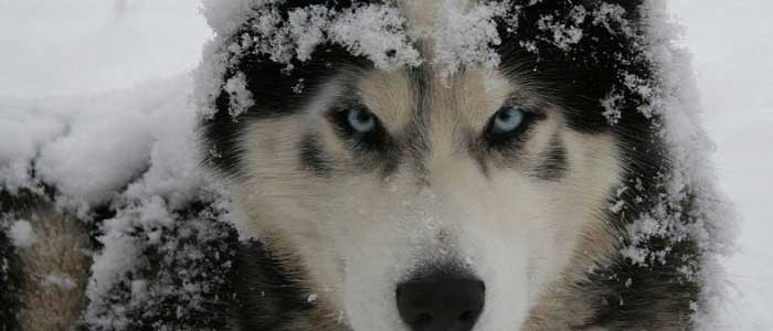 Sibirya Kurdu (Husky) Nedir?