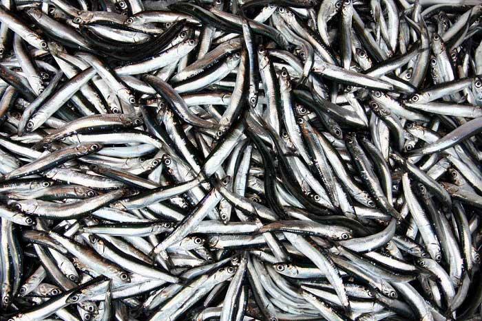 Hamsi Balıkları Hakkında Bilgi; Hamsi Balığı Nedir? Özellikleri Nelerdir?
