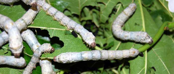 İpek Böceği Nerede Yetiştirilir?