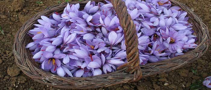 Safran - nedir bu Aromatik baharatın özellikleri, uygulanması ve yetiştirilmesi