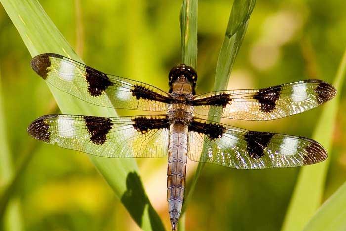 Yusufçuk (Helikopter) Böcekleri Hakkında Bilgi; Yusufçuk Böceği Nedir? Özellikleri Nelerdir?