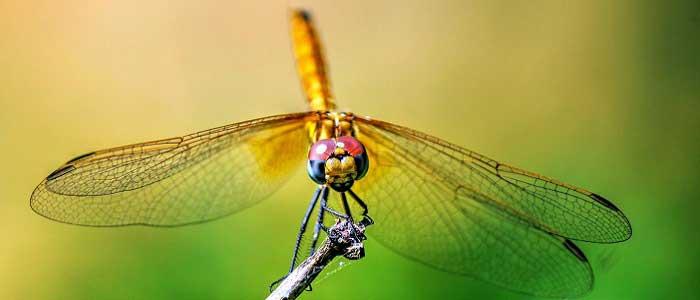 Yusufçuk Böceği Nedir?