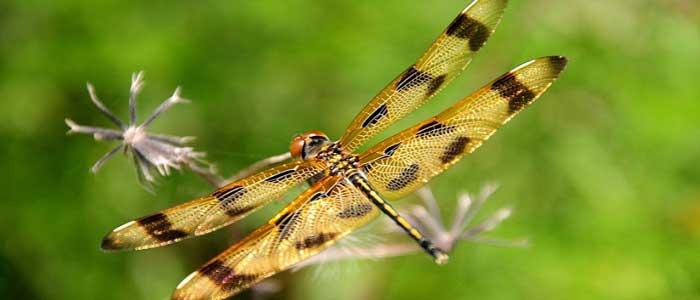 Yusufçuk Böceğinin Bilimsel Sınıflandırması