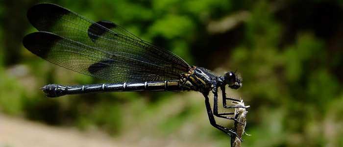 Yusufçuk Böceğinin Çiftleşmesi Nasıl Olur?