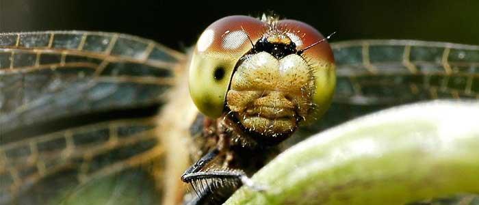 Yusufçuk Böceğinin Özellikleri Nelerdir?