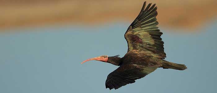 Kelaynak Kuşlarının Bilimsel Sınıflandırması