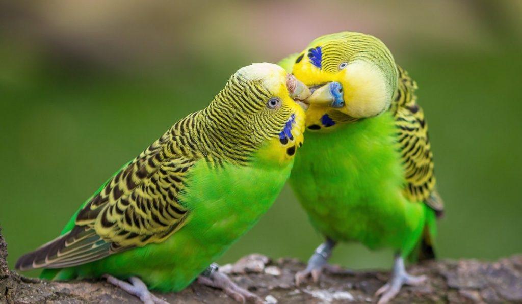 Muhabbet Kuşları Hakkında Bilgi; Muhabbet Kuşu Nedir? Özellikleri Nelerdir?