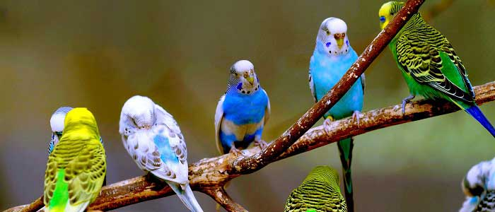 Muhabbet Kuşu Nedir?