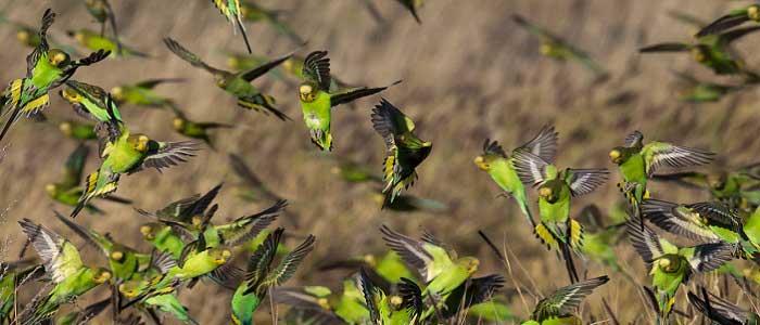 Muhabbet Kuşlarının Bilimsel Sınıflandırması