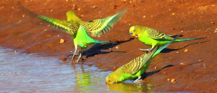Muhabbet Kuşlarının Özellikleri Nelerdir?