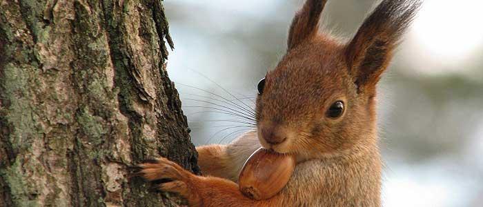 Palamut Ağacının Faydaları Nelerdir?