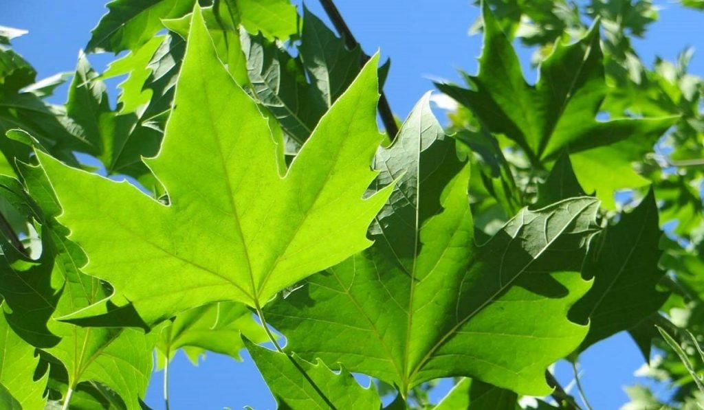 Çınar Ağacı Nedir? Özellikleri ve Faydaları Nelerdir?