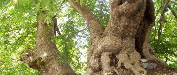 Çınar Ağacının Özellikleri Nelerdir?