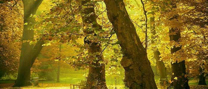 Çınar Ağacının Türleri Nelerdir?