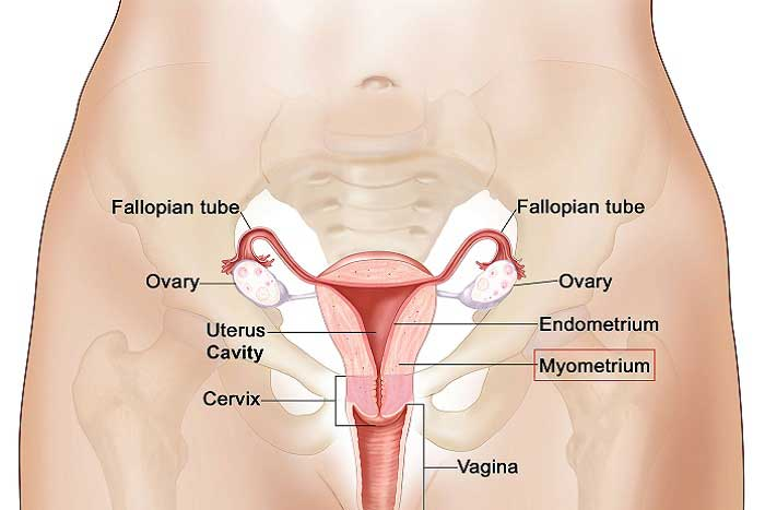Anatomy of the female vagina