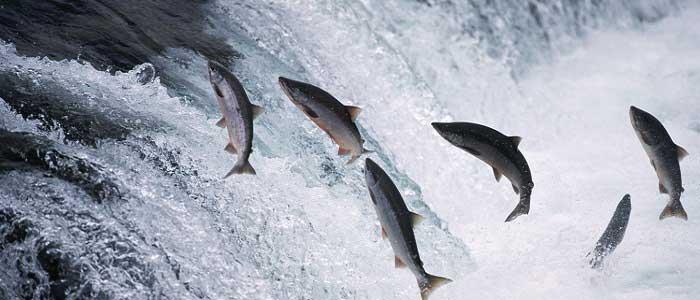 Somon Balığının Özellikleri Nelerdir?