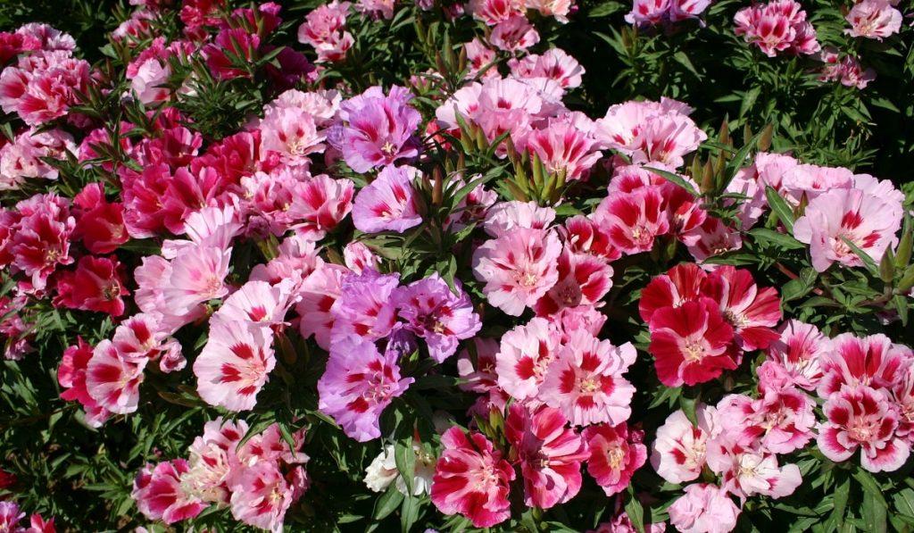 Açelya Çiçeği Nedir? Çeşitleri ve Özellikleri Nelerdir?