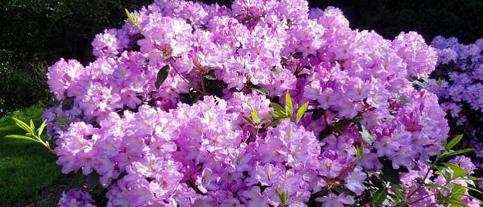 Açelya Çiçeği Nedir?