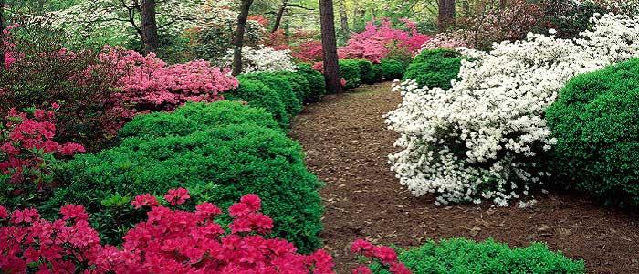 Açelya Çiçeğinin Özellikleri Nelerdir?