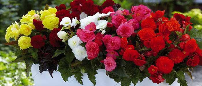 Begonya Çiçeği Nasıl Yetiştirilir?