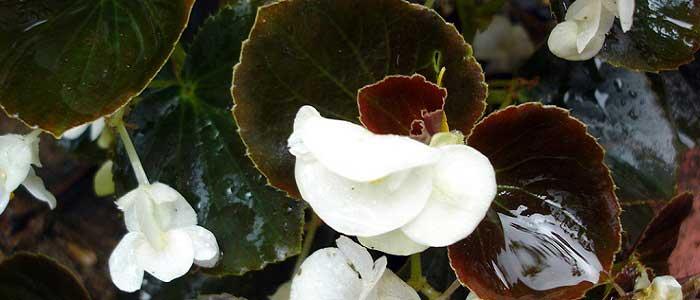 Begonya Çiçeğinin Çeşitleri Nelerdir?