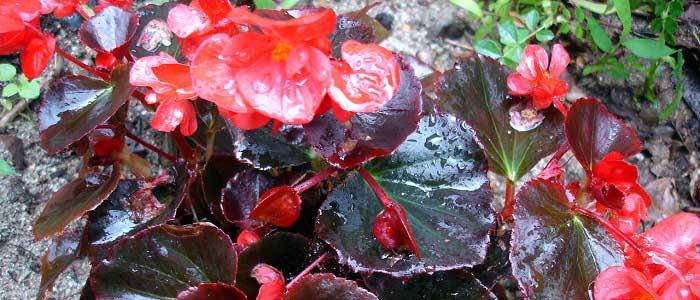 Begonya Çiçeğinin Özellikleri Nelerdir?