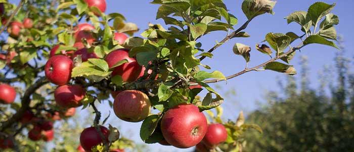 Elmanın Özellikleri Nelerdir?