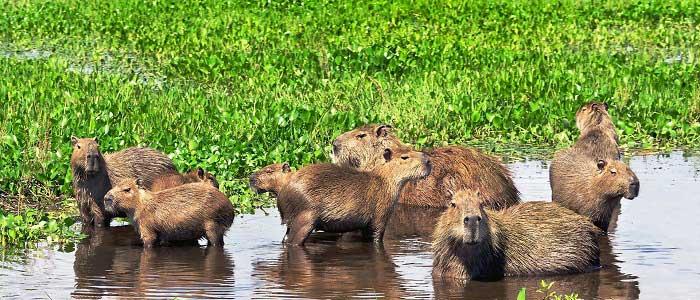 Kapibara Nedir?