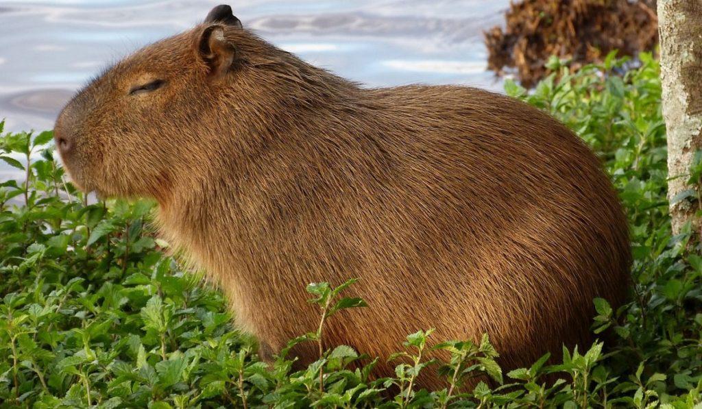 Kapibaralar Hakkında Bilgi; Kapibara Nedir? Özellikleri Nelerdir?