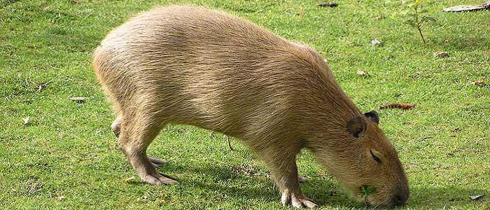 Kapibaranın Bilimsel Sınıflandırması