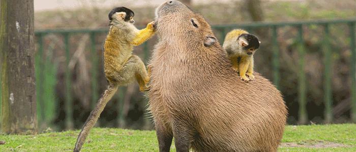 Kapibaranın Özellikleri Nelerdir?