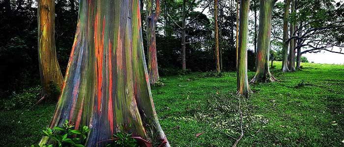 Okaliptus Ağacının Özellikleri Nelerdir?